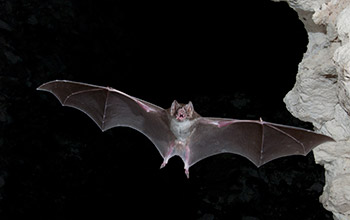 Photo of a vampire bat.