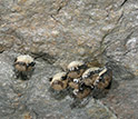 Photo of hibernating bats that have white-nose syndrome.