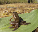 A northern red-legged frog with limb deformities sitting on a leaf