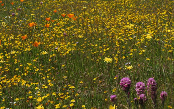 Photo of native wildflowers in a California serpentine grassland.