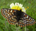 Photo of an endangered Bay Checkerspot butterfly on a flower in a serpentine grasslands.