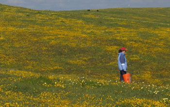 Photo of Leslie Gonzalez sampling plant diversity at Coyote Ridge, Calif.