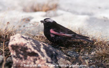 male Black Rosy-Finch