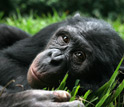 Photo of one of Brian Hare's favorite bonobo subjects relaxing at the Lola ya Bonobo sanctuary.