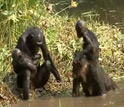 Image of two female bonobos with their babies.