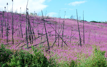 Fireweed and burned landscape