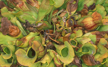 A bunch of northern pitcher plants