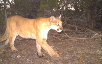 Photo of a mountain lion taken by a motion-activated camera.
