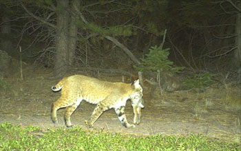 Photo of a bobcat with cottontail rabbit taken with a motion-activated camera.