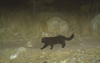 Photo of a domestic cat taken by a motion-activated camera.
