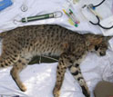 Photo of an immobilized bobcat whose spot pattern helps identify individuals.