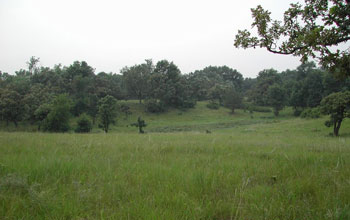Oak savanna--interspersed oaks and grasses--in summer at the Cedar Creek site.