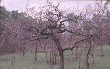 Bur oaks are mainstays of oak savanna ecosystems in the northcentral U.S.