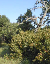 For oak savanna to flourish, growth of the shrub American hazel must be kept in check.