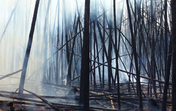 Charred boreal forest after a fire