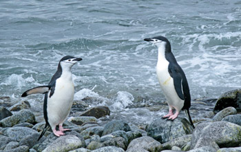 Photo of two chinstrap penguins.
