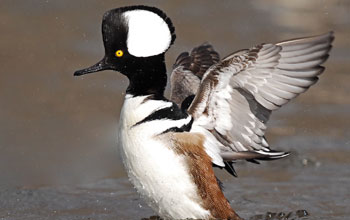 Photo of a male hooded merganser on water with its wings outspread and hood raised.