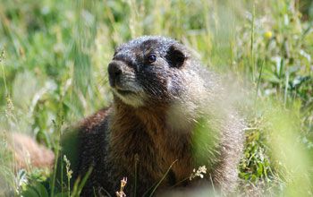 Photo of a yellow-bellied marmot.