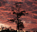 Amazon rainforest tree in a pasture at sunset.