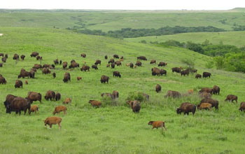 Image of bison on the prairie.