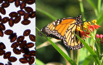 Collage showing a monarch butterfly and the parasite it can carry