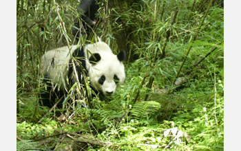 Photo of a panda in a bamboo forest.