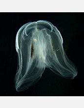 Photo of a comb jelly