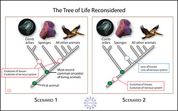 Illustration showing two possible scenarios how complex comb jellies evolved before simpler sponges.