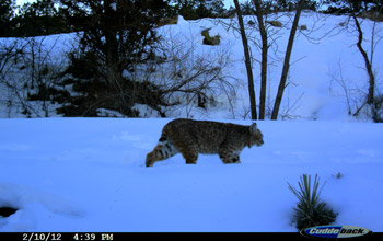 Photo of a bobcat making its way through snow in Colorado.