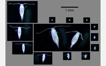 Images showing 13 developmental stages of copepod Acartia tonsa from egg through adult.