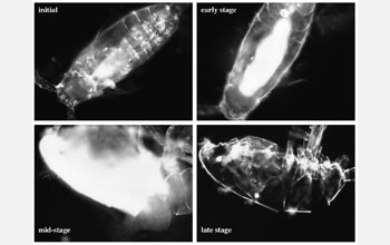 Images of copepod Acartia tonsa carcasses at different stages of decomposition.