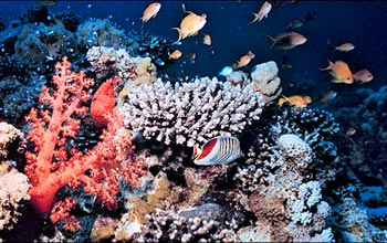 Photo of fish swimming around a coral reef.