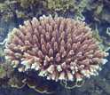 Photo of Acropora millepora on the reef off Magnetic Island, Australia.