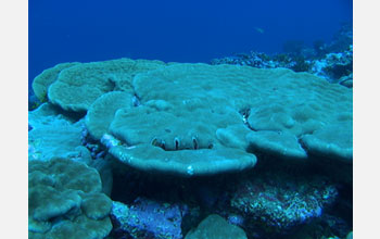 Photo of coral from Kingman atol (Northern Line Islands).