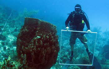 Giant barrel sponges off Little Cayman Island in the Caribbean next to a researcher.