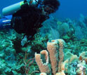 "Diver surveys a gray tube sponge with ""bite marks"" from angelfish"