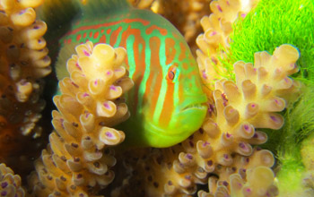 Photo of a goby fish on a coral reef in Fiji.