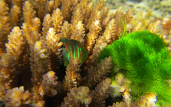 Photo  of a goby fish feeding on algae that would otherwise cover the coral.