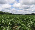 A Michigan corn field east of the Kellogg Biological Station LTER site.