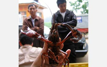 Photo of a Louisiana crayfish caught from Lake Liangzi, China, with help from local fishermen.