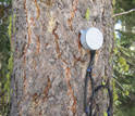 Photo of a sap-flux meter monitoring a Critical Zone Tree.