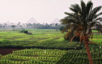 Crops growing in an Egyptian oasis, with the Pyramids of Giza in the background.