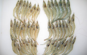 Image of Pacific white shrimp.