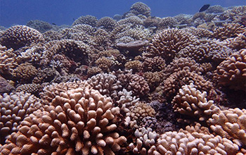 coral reef in Moorea before bleaching killed the larger corals