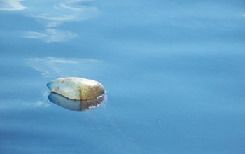 Photo of a jellyfish affected by oil in the Gulf.