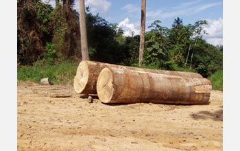 Photo of logs that were from cut from the Amazonian rainforest.