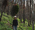 Photo of scientist Teresa Chapman in the forest affected by the beetle outbreak.