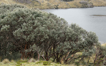 Photo of a woodland near Lake Titicaca.