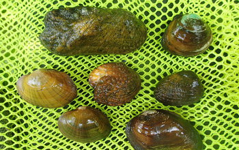 Carla Atkinson studies the evolutionary ecology of freshwater mussels.