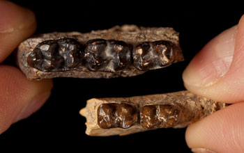 Photo of Sifhippus teeth at its largest size compared with teeth of same species after size shrank.